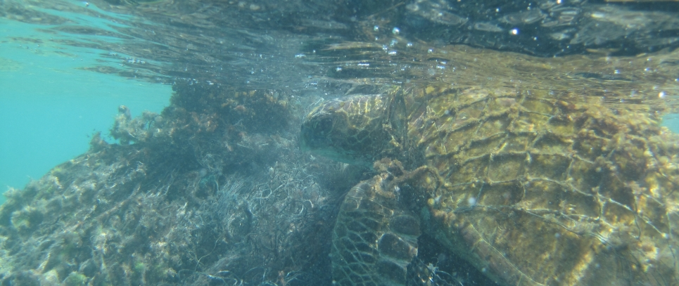 NOAA Divers free turtle video poster