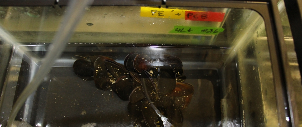 Mussels in a UC Davis laboratory receive polymers with PCBs.