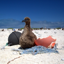A Laysan Albatross chick rests on a small derelict fishing net.