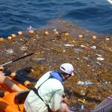 Collecting marine debris in Sargassum. (Photo Credit: USM)