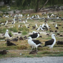 A flock of Laysan Albatrosses.
