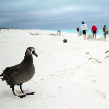 A Black-footed albatross sits among a beach filled with derelict fishing net.
