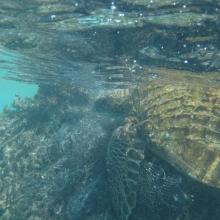 Entangled Green Sea Turtle in Hawaii.