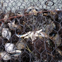 Bycatch Example (Photo Credit: VIMS)