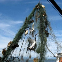 A derelict net being pulled up from the Puget Sound contains fish
