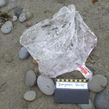 Mylar balloon found on Dungeness beach in Washington.