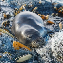 A monk seal sleeping on derelict nets.