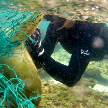 Entangled Green Sea Turtle.