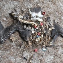 An albatross carcass has plastics in the stomach