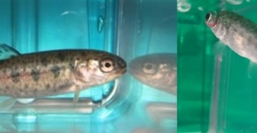 Two small fish are shown side by side in a clear container of water.
