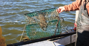A person taking a derelict crab pot out of the water.