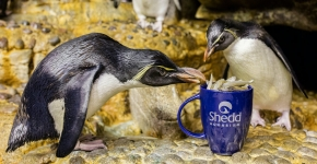 Two penguins eating fish from a mug.