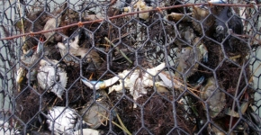 Bycatch Example (Photo Credit: VIMS).