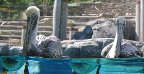 Brown pelicans float in their exhibit pool.