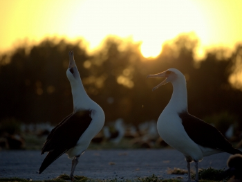 A Laysan Albatross couple practices their mating dance. (Photo Credit: NOAA PIFSC Coral Reef Ecosystem Program)