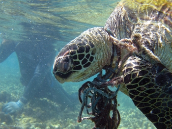 Entangled hawksbill sea turtle in Hawaii.