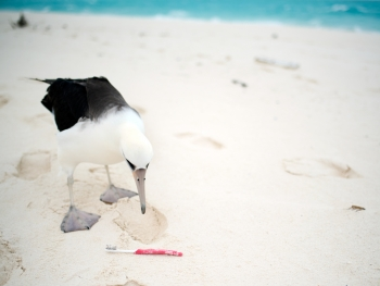 A curious Laysan Albatross checks out a toothbrush on the beach. Last year the Marine Debris team removed 705 toothbrushes and personal care items from the shorelines of Midway Atoll.