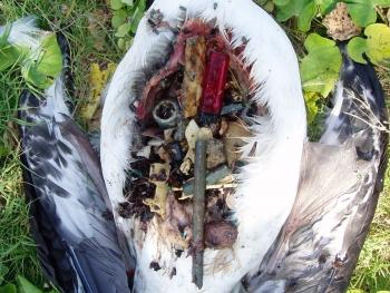 Debris Impact on Laysan Albatross