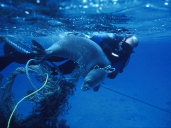 Divers release a seal from marine debris entanglement in the Northwestern Hawaiian Islands.