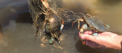 Crabs caught in marine debris.