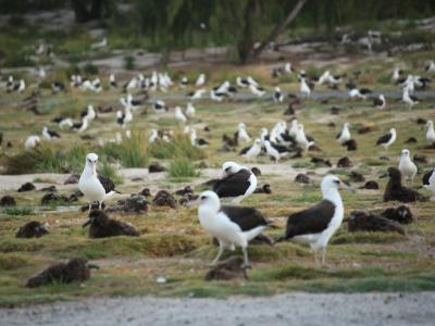 A flock of Laysan Albatrosses.