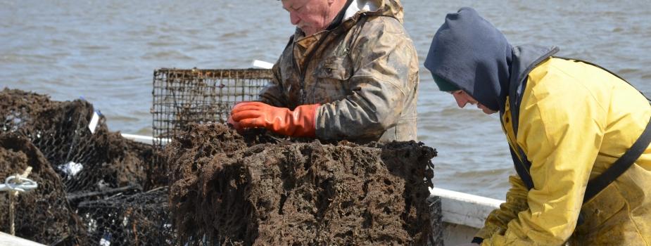A crabber removes a derelict crab pot.