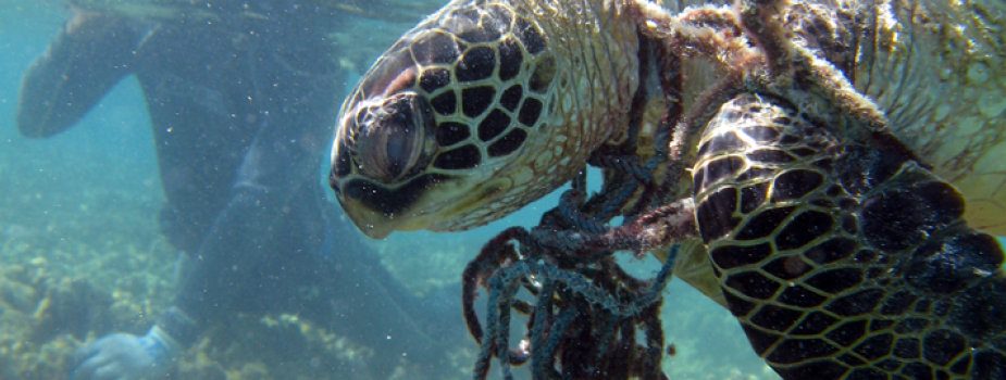 A green sea turtle is entangled in derelict net.