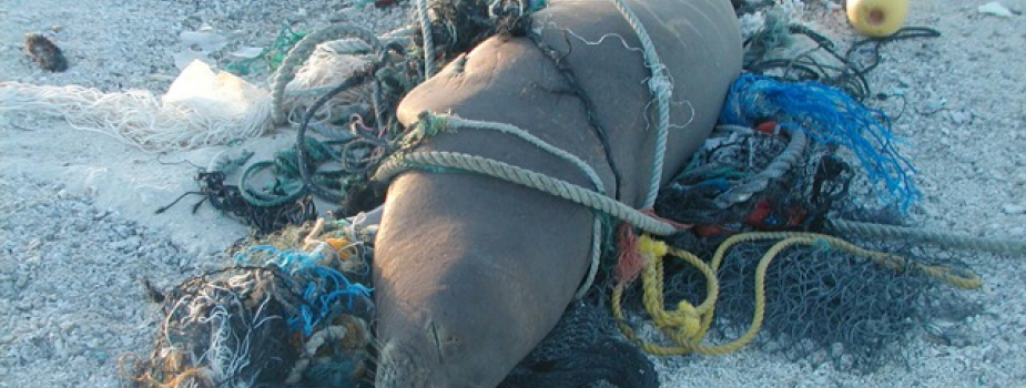 A monk seal lounges in marine debris on the beach.