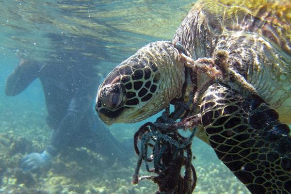 Entangled hawksbill sea turtle in Hawaii.