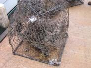 A derelict crab trap contains dead blue crabs.